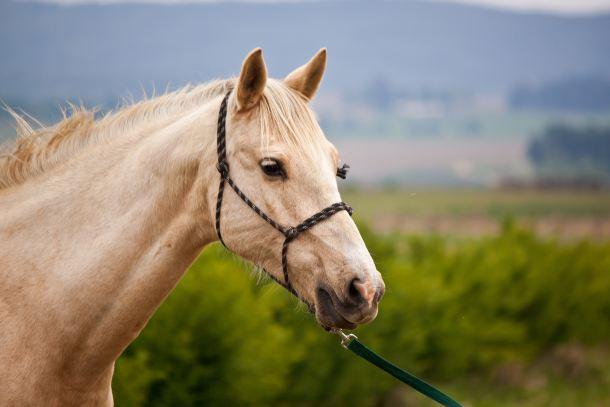 סוס (אילוסטרציה)